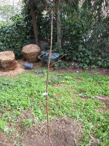 bare-root nectarine