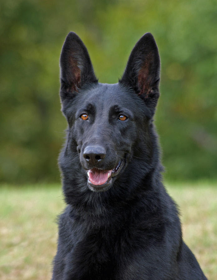 Buy Black German Shepherd Puppies For Sale Near Me In Germany