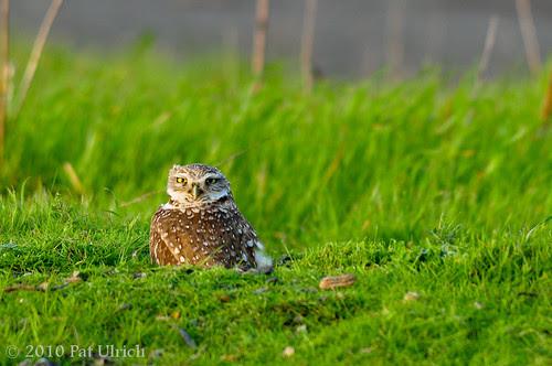 Burrowing Owl Staredown