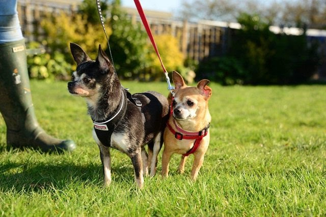 Poppy and Rose – 9-10 year old female Chihuahuas