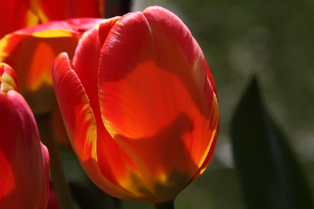 backlit tulips