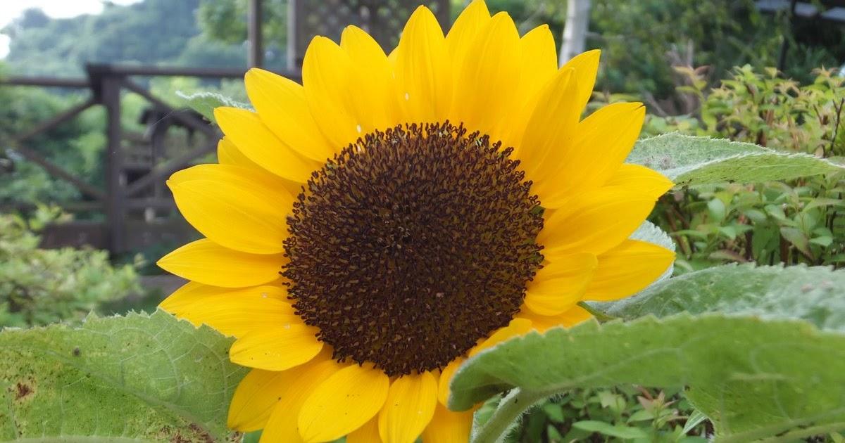 ひまわり 花 言葉 ひまわり 花 言葉 ひまわり(向日葵)の花言葉!種類別の意味・誕生花