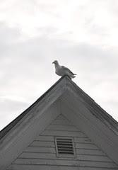 Seagull_7410e