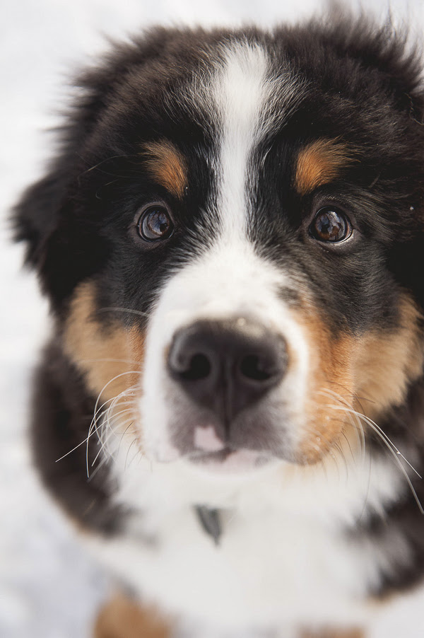 Puppy Bernese Mountain Dog For Sale In Sweden