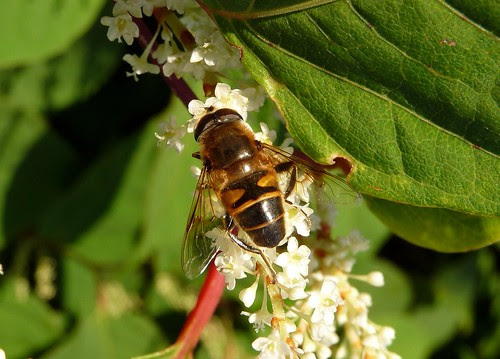22381 - Eristalis Hoverfly on Japanese Knotweed