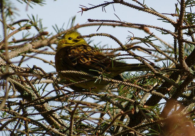 27131 - Yellowhammer, Isle of Mull
