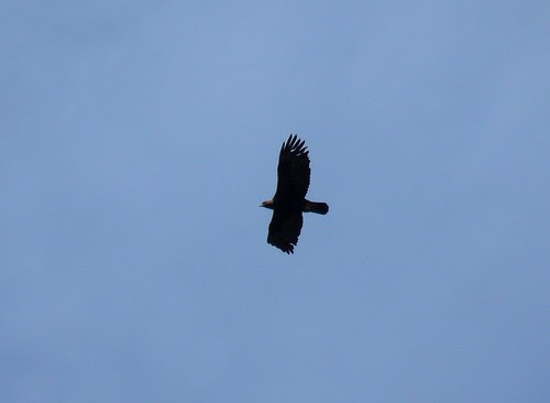 21682 - Golden Eagle on Mull