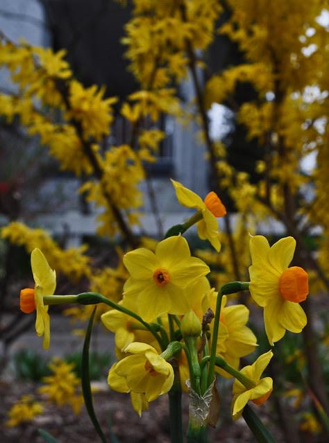 Narcissus (8)