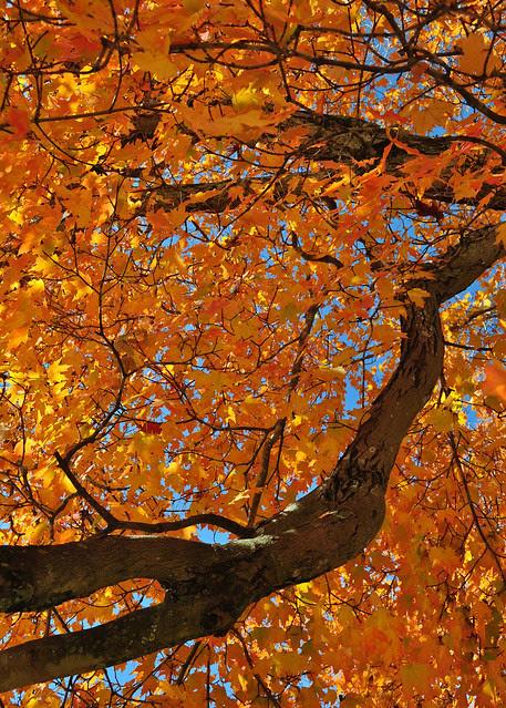 Maple Orange (3)