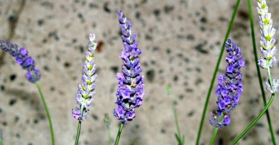 230-plantas-medicinales-mas-efectivas-y-sus-usos-lavandin-flor