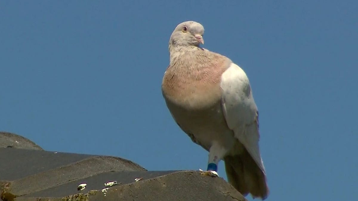 Australia to kill Joe, a racing pigeon that crossed the Pacific Ocean from the US, over COVID-19 concerns