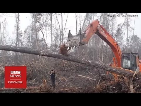 Momen Pilu Saat Orang Utan Hadang Buldoser di Hutan Kalimantan