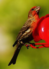 Male House Finch having some nectar.