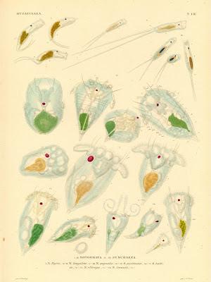 Hydatinaea, Notommata, Synchaeta