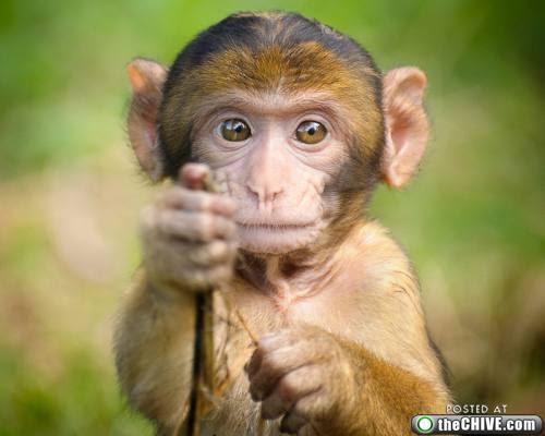 gambar binatang lucu monyet - GambarGambar.co
