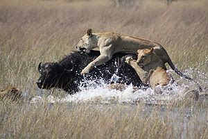 Eight lions stalking a herd of about 100 water...