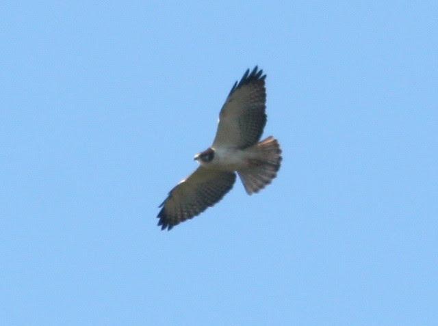Short-tailed Hawk SOOC Cropped 4-20100108