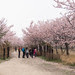 Avenue of Cherry blossoms.jpg