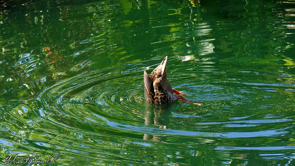 Disneyland Resort, Disneyland, Ducks