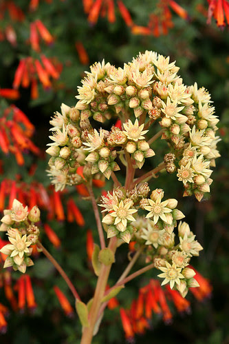 aeonium flowers with cuphea behind