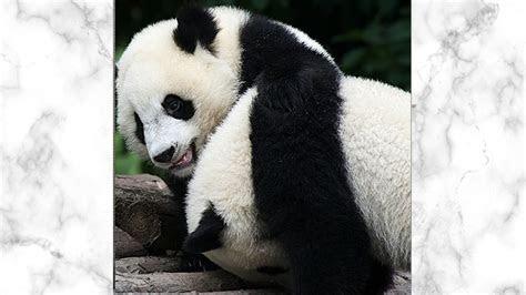 kumpulan gambar panda lucu  imut  menghiasi harimu
