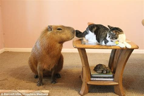 The Texas couple who share their home with an EIGHT STONE capybara named Gary   Daily Mail Online