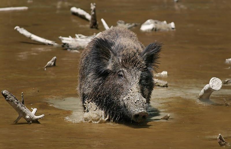 File:Wild Boar Habbitat 3.jpg