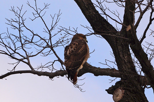Adult Red-Tailed Hawk (6277)