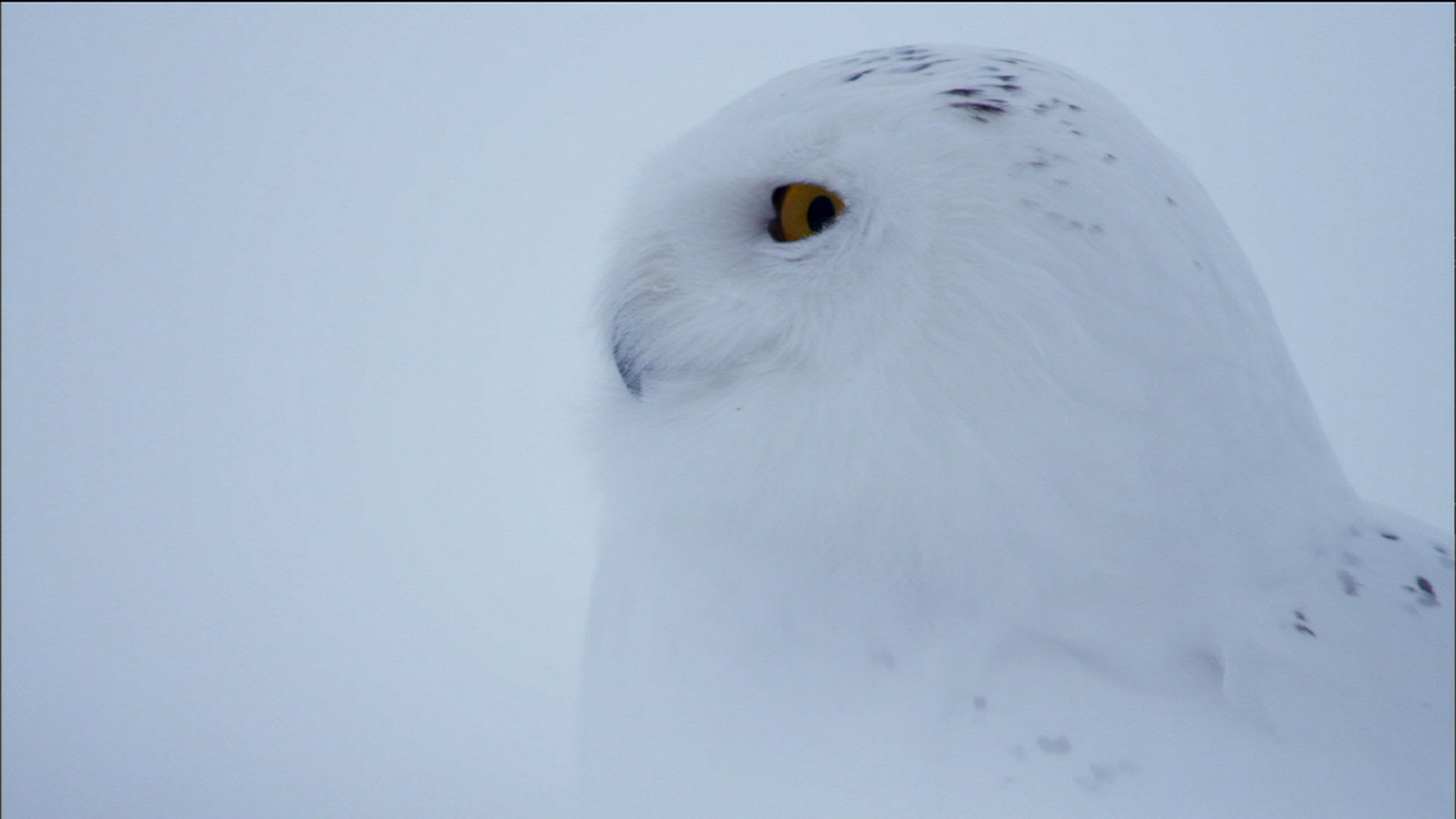 Magic Of The Snowy Owl Owl Of The Arctic Nature Pbs