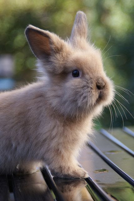 """I had to make a board titled """"Cute things"""" just for this picture! baby lionhead rabbit"""