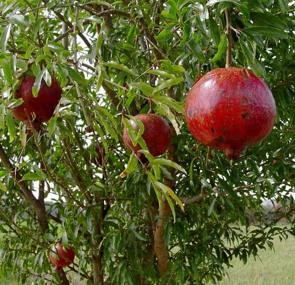 we love our bangladesh pomegranate fruit dalim fal. Black Bedroom Furniture Sets. Home Design Ideas