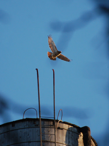 Red-Tail over Riverside Drive