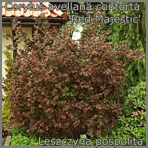 Corylus avellana contorta 'Red Majestic' - Leszczyna pospolita 'Red Majestic'