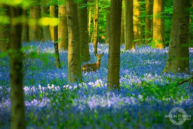 Το εκπληκτικό Μπλε Δάσος του Βελγίου (6)