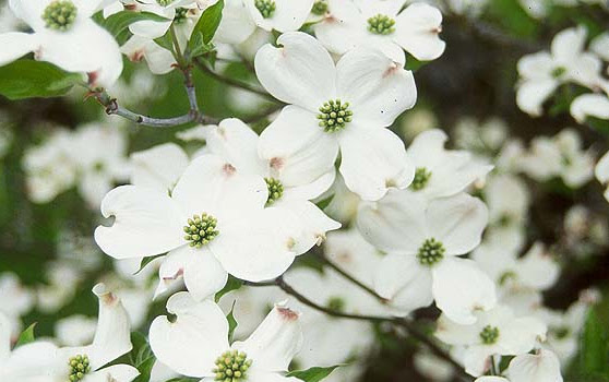 White Flowering Dogwood Hoette Farms Nursery