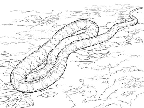 Disegno Di Serpente Tigre Da Colorare Disegni Da Colorare E
