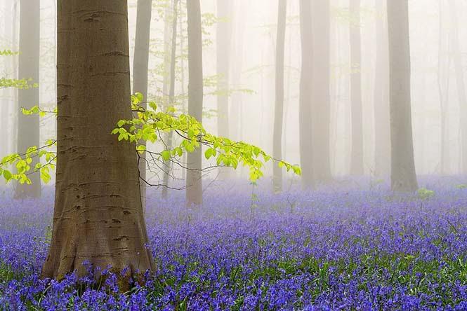 Το εκπληκτικό Μπλε Δάσος του Βελγίου (4)