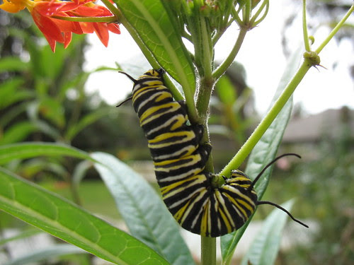 monarch butterfly larva. by freestone