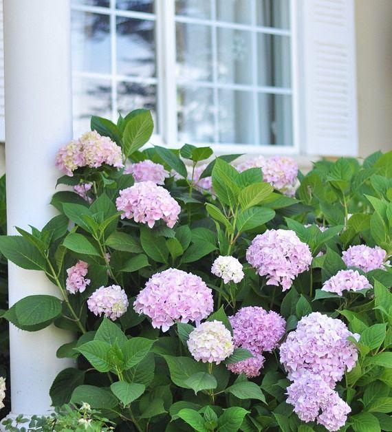 growing healthy hydrangeas
