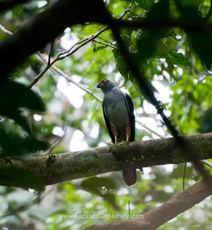Bi-colored Hawk