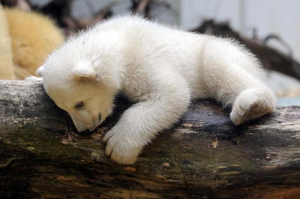 FOTOS: irmão do urso polar Knut é fotografado aproveitando o dia com a mãe em zoológico na Alemanha Marius Becker/AFP
