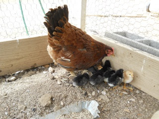 New Chicks Hatched Early April 2012