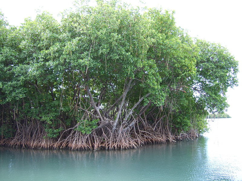 800px-Mangroves_in_Puerto_Rico