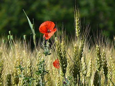 blé et coquelicots.jpg