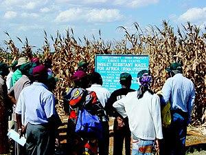 In an effort to reduce corn stem-borer infesta...