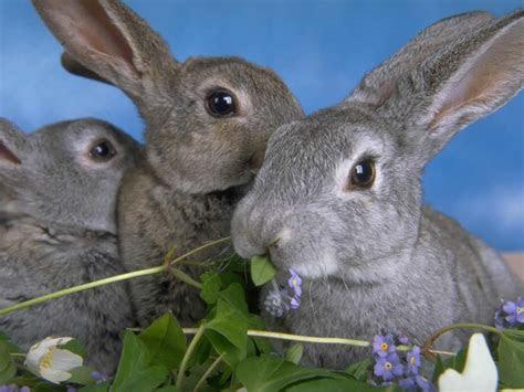 wallpaper kelinci lucu  imut