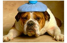 Dor de cabeça de cão