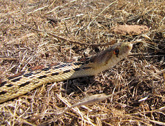 a gopher snake on the road