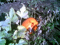 Pumpkin ready to harvest