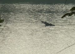 Oxbow lake gator